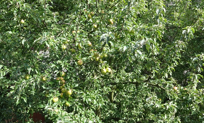 The views from my daughter's window. We have apples at the top of the tree, but not the bottom, which is confusing.