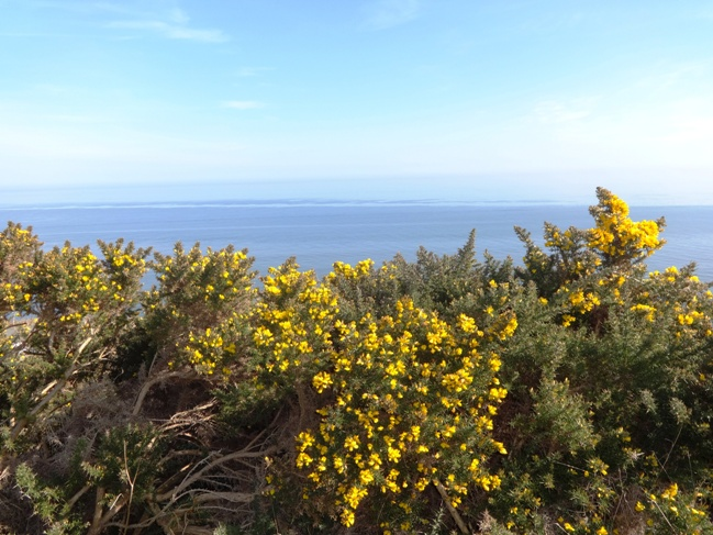 It's spring and the sweet-smelling gorse is in bloom