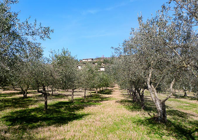 The wonderful olive groves, just below the Casale San Pietro.